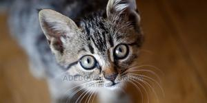 1-3 Month Male Purebred Other | Cats & Kittens for sale in Lagos State, Alimosho