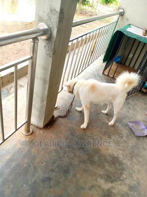 1+ Year Male Mixed Breed American Eskimo | Dogs & Puppies for sale in Ekiti State, Moba