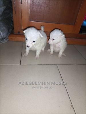 1-3 Month Female Purebred American Eskimo | Dogs & Puppies for sale in Lagos State, Ojo