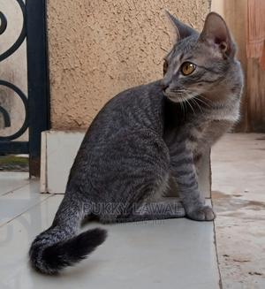 1+ Year Female Mixed Breed American Shorthair   Cats & Kittens for sale in Lagos State, Ikorodu