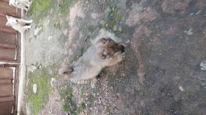 1-3 Month Female Purebred Caucasian Shepherd | Dogs & Puppies for sale in Akwa Ibom State, Uyo