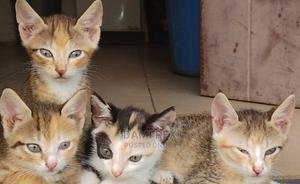 1-3 Month Female Purebred American Shorthair | Cats & Kittens for sale in Abuja (FCT) State, Apo District