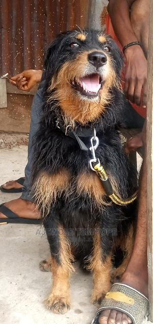 6-12 Month Male Mixed Breed Rottweiler | Dogs & Puppies for sale in Osun State, Osogbo