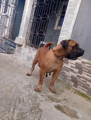 1+ Year Female Purebred Bullmastiff | Dogs & Puppies for sale in Plateau State, Jos