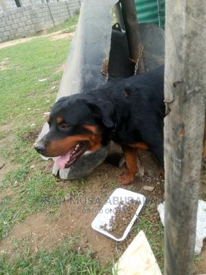 1+ Year Male Purebred Rottweiler   Dogs & Puppies for sale in Abuja (FCT) State, Jabi