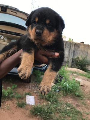 1-3 Month Male Purebred Rottweiler | Dogs & Puppies for sale in Ogun State, Ijebu Ode