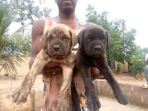 3-6 Month Male Purebred Boerboel   Dogs & Puppies for sale in Enugu State, Enugu