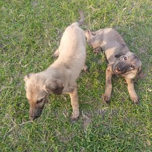 1-3 Month Female Mixed Breed German Shepherd | Dogs & Puppies for sale in Rivers State, Port-Harcourt
