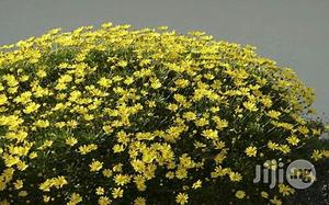 Yellow Bush Flower Seedlings Natural Flowers | Feeds, Supplements & Seeds for sale in Plateau State, Jos