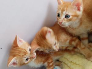 1-3 Month Male Purebred Other | Cats & Kittens for sale in Edo State, Benin City