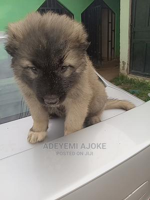 1-3 Month Male Purebred Caucasian Shepherd | Dogs & Puppies for sale in Abuja (FCT) State, Kubwa