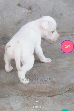 1-3 Month Male Purebred American Pit Bull Terrier | Dogs & Puppies for sale in Ogun State, Ijebu