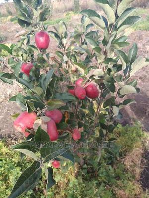 Apple  Seedlings | Feeds, Supplements & Seeds for sale in Lagos State, Isolo