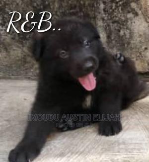 1-3 Month Female Purebred German Shepherd | Dogs & Puppies for sale in Lagos State, Ikorodu