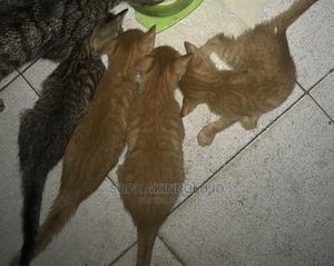 1-3 Month Male Mixed Breed Egyptian Mau   Cats & Kittens for sale in Lagos State, Magodo
