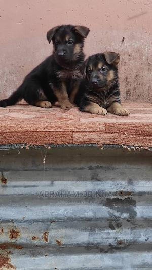 1-3 Month Female Purebred German Shepherd   Dogs & Puppies for sale in Plateau State, Jos