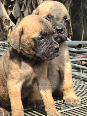 1-3 Month Male Purebred Bullmastiff   Dogs & Puppies for sale in Rivers State, Port-Harcourt