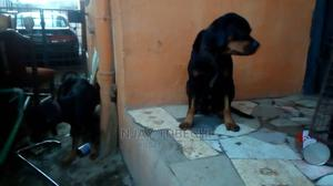 1+ Year Female Purebred Rottweiler | Dogs & Puppies for sale in Lagos State, Ikotun/Igando