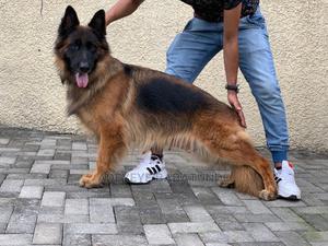 1+ Year Female Purebred German Shepherd   Dogs & Puppies for sale in Oyo State, Ibadan