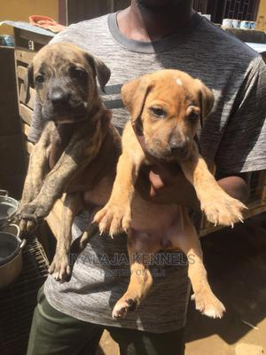 1-3 Month Male Purebred Boerboel | Dogs & Puppies for sale in Ogun State, Abeokuta South