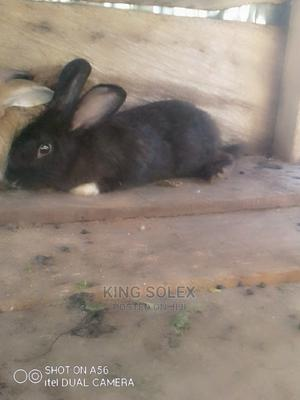 Rabbits for Sale   Other Animals for sale in Abuja (FCT) State, Kurudu