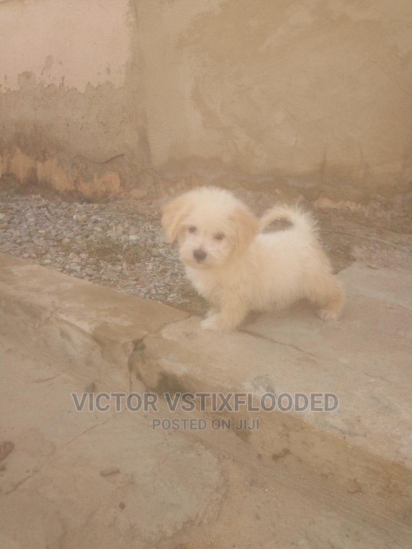 Archive: 1-3 Month Male Purebred Lhasa Apso