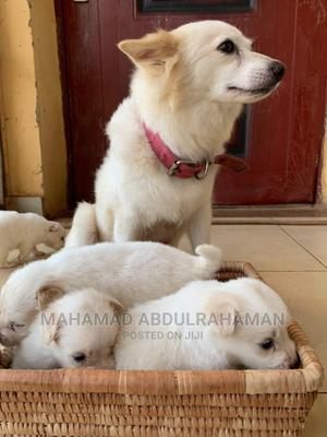 1-3 Month Male Purebred American Eskimo | Dogs & Puppies for sale in Abuja (FCT) State, Durumi