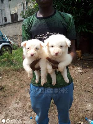 1-3 Month Female Purebred American Eskimo   Dogs & Puppies for sale in Lagos State, Agege