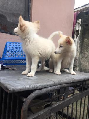 1-3 month Male Purebred American Eskimo   Dogs & Puppies for sale in Rivers State, Port-Harcourt