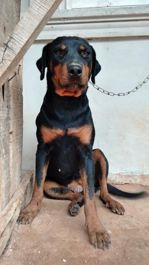 1+ Year Female Purebred Rottweiler | Dogs & Puppies for sale in Edo State, Benin City