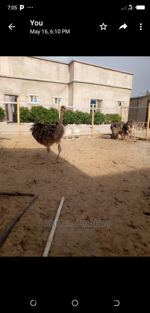 An Ostrich | Birds for sale in Zamfara State, Gusau