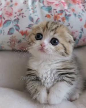 1-3 Month Male Purebred Scottish Fold   Cats & Kittens for sale in Lagos State, Ikoyi