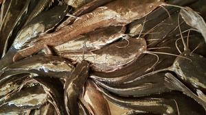 Catfish Table Size | Fish for sale in Lagos State, Ipaja