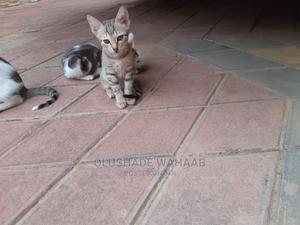 1-3 Month Male Mixed Breed Bengal | Cats & Kittens for sale in Lagos State, Ikorodu