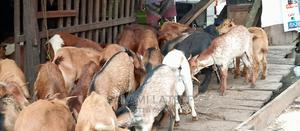 Healthy Goat | Livestock & Poultry for sale in Lagos State, Yaba