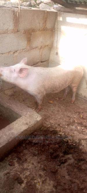 Large White Pig | Livestock & Poultry for sale in Plateau State, Jos