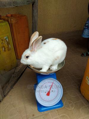 Matured Buck Hyla, English Spot, Chinchilla Rabbit   Other Animals for sale in Oyo State, Ido