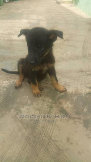 1-3 Month Male Purebred Other   Cats & Kittens for sale in Oyo State, Akinyele