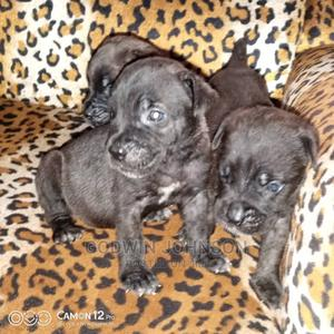 1-3 Month Female Mixed Breed Cane Corso | Dogs & Puppies for sale in Edo State, Benin City