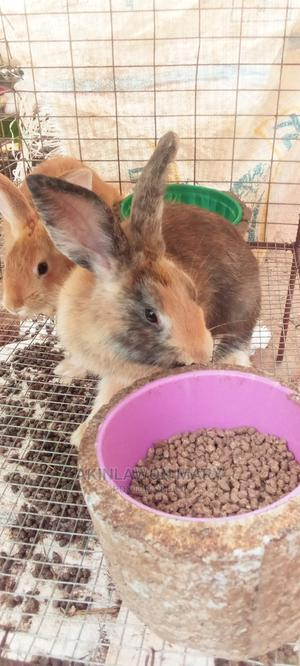 1_3month an Healthy Rabbits Male and Female Available for Sa   Livestock & Poultry for sale in Ogun State, Ado-Odo/Ota