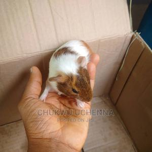 Weaners Guinea Pigs | Livestock & Poultry for sale in Lagos State, Ajah