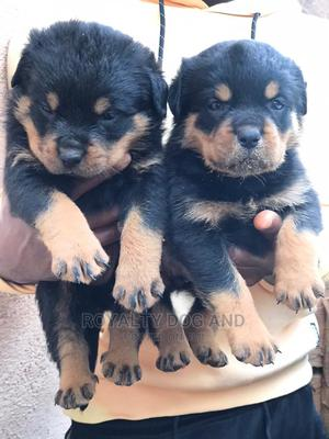 1-3 Month Male Purebred Rottweiler   Dogs & Puppies for sale in Lagos State, Alimosho