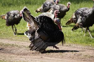 Large Turkeys and Chickens for Sale   Livestock & Poultry for sale in Abuja (FCT) State, Lokogoma