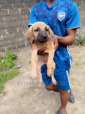 1-3 Month Female Mixed Breed Boerboel   Dogs & Puppies for sale in Rivers State, Port-Harcourt