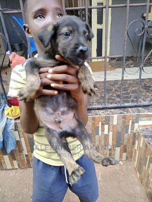1-3 Month Male Mixed Breed German Shepherd   Dogs & Puppies for sale in Edo State, Benin City