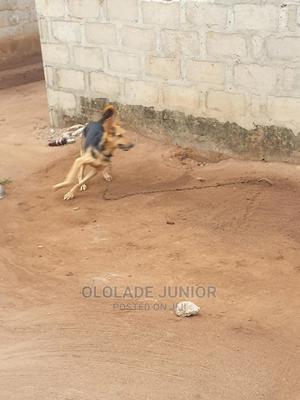 6-12 Month Female Purebred German Shepherd   Dogs & Puppies for sale in Ogun State, Ado-Odo/Ota