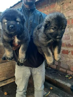 1-3 Month Female Purebred Caucasian Shepherd | Dogs & Puppies for sale in Lagos State, Ikorodu