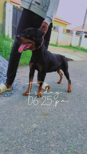 1+ Year Male Purebred Rottweiler   Pet Services for sale in Abuja (FCT) State, Lugbe District