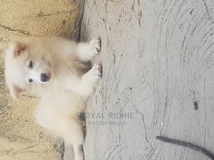 3-6 Month Male Purebred American Eskimo   Dogs & Puppies for sale in Ekiti State, Ado Ekiti