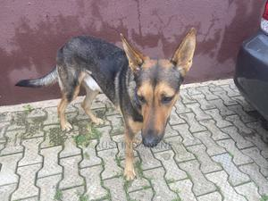 1+ Year Male Purebred German Shepherd | Dogs & Puppies for sale in Oyo State, Oluyole